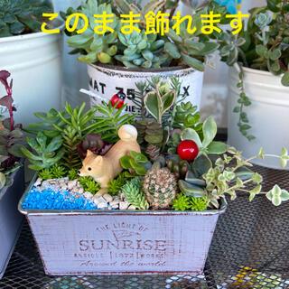 多肉植物 寄せ植え そのまま飾れる 箱庭 海 犬★ご希望で育て方メモ★(その他)