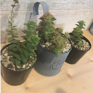 多肉植物 クラッスラ 南十字星(その他)