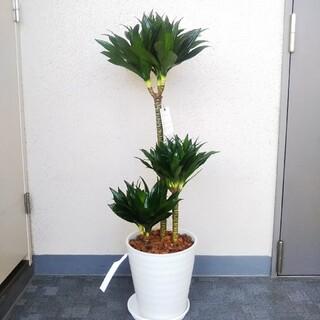 ①ドラセナコンパクタ‼️8号鉢!樹形綺麗観葉植物❗️高級セラアート鉢受皿付❗️(プランター)