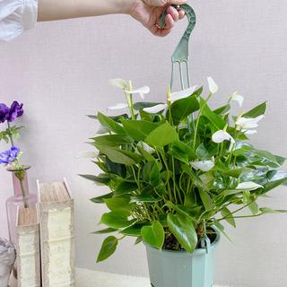 贈り物に【送料込】* アンスリウム ベビーホワイト * 観葉植物 #アーキレイ(その他)