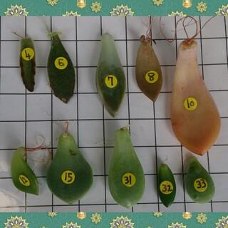 多肉植物の葉挿し10種類(その他)