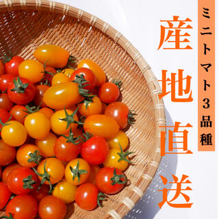 ミニトマト 1kg  [農学博士のDr.トマト] 採れたて☘️産地直送いたします(野菜)