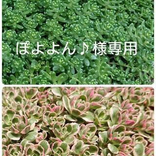 ぽよよん♪様専用 白花タイトゴメ、トリカラー(その他)