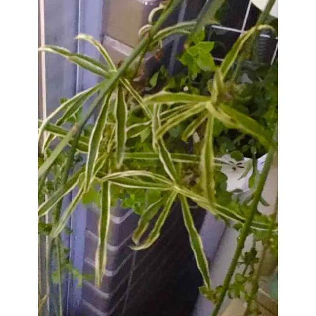 オリヅルラン 4品種 赤ちゃん苗 ハンドメイドのフラワー/ガーデン(プランター)の商品写真