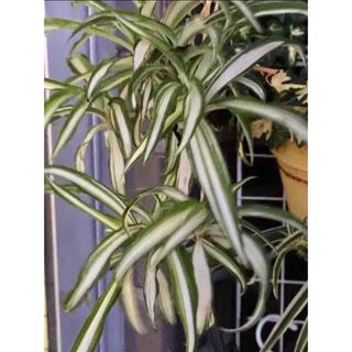 オリヅルラン 4品種 赤ちゃん苗(プランター)