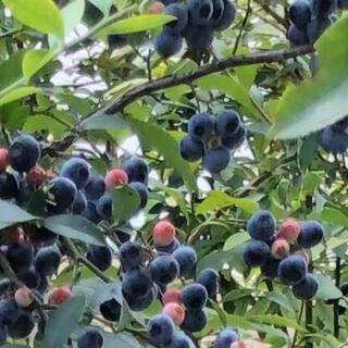 栃木県産 ブルーベリー1キロ(フルーツ)