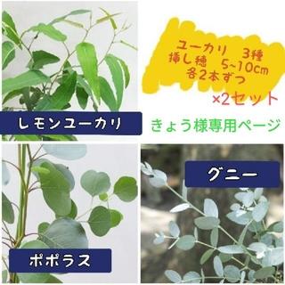 ユーカリ 3種 挿し穂(プランター)
