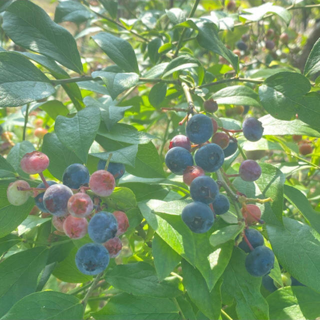 💝お試し価格💝自然農法 無農薬 手摘み生ブルーベリー1.8kg クール冷蔵 食品/飲料/酒の食品(フルーツ)の商品写真