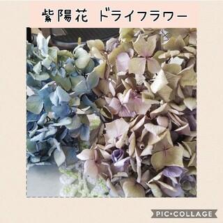 紫陽花ドライフラワー(ドライフラワー)