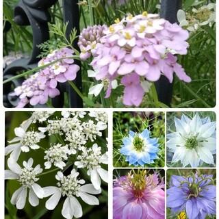 ♥花の種 イベリスキャンディタフト オルレア ニゲラ(プランター)