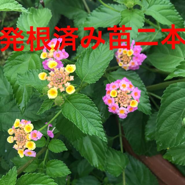 ランタナ発根済み苗ニ本 ハンドメイドのフラワー/ガーデン(プランター)の商品写真