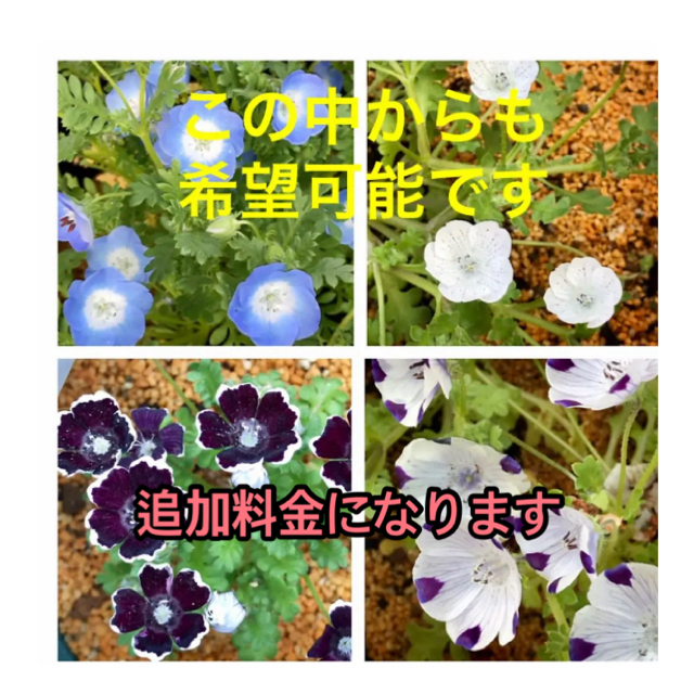 9月から撒き時に 種35粒 ネモフィラ   ブルーベリーアイズ ハンドメイドのフラワー/ガーデン(プランター)の商品写真