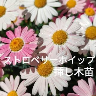 ✾ストロベリーホイップ✾ マーガレット 挿し木苗1株(その他)