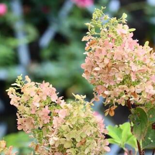 ピラミッドアジサイ紫陽花 ピンクノリウツギ 小苗根付き抜き苗1(その他)