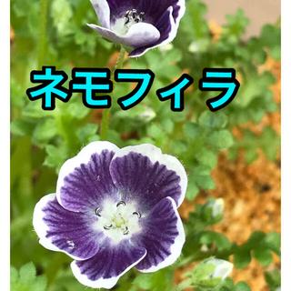 種32粒 ネモフィラ   ブルーベリーアイズ(プランター)