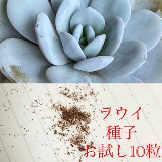 多肉植物 エケベリア ラウイ 種子 10粒(その他)
