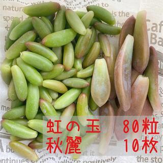 6 多肉植物 虹の玉 秋麗(その他)