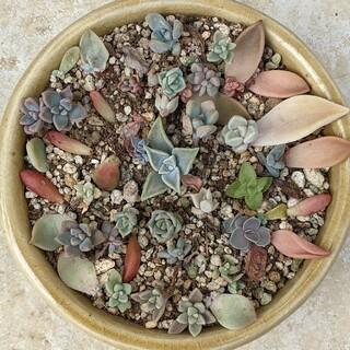 多肉植物 10頭まとめて 葉挿しの赤ちゃん 希少種 ラウリンゼやアメジスチムも(その他)