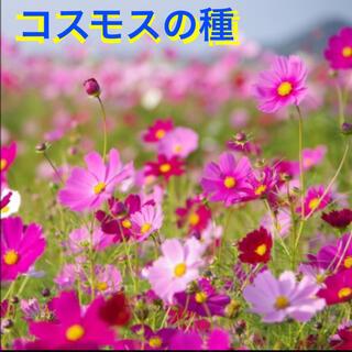 コスモス 種 50粒〜(その他)