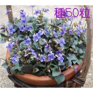 宿根すみれ ラブラドリカ 紫式部 種 50粒(その他)