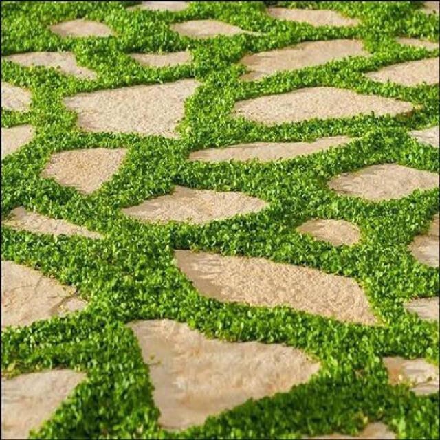 【まき時】【説明書つき】ダイカンドラ ディコンドラ 13g 種子。お試しサイズ! ハンドメイドのフラワー/ガーデン(その他)の商品写真