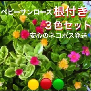 ☆安心の根付きで直ぐ増える❣️ベビーサンローズ3色セット⛳️初心者向き☆(プランター)