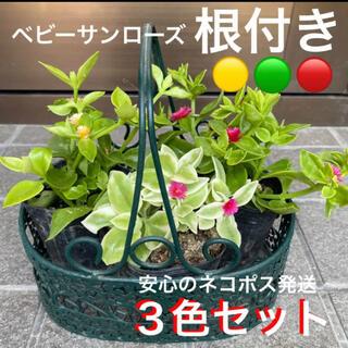 ①☆安心の根付き3色セット❣️ベビーサンローズ⛳️初心者向き☆(プランター)