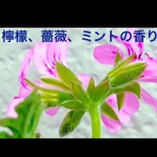 Q 抜き苗 薔薇、檸檬、ミントの香り レディープリマスゼラニウム(その他)
