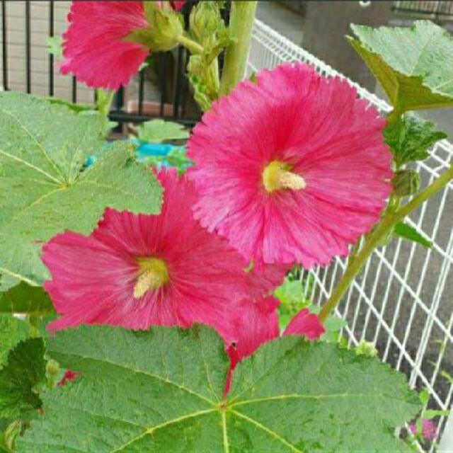 タチアオイ☆ピンク☆白セット! ハンドメイドのフラワー/ガーデン(プランター)の商品写真