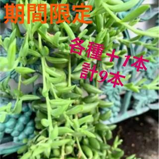 多肉植物ネックレス3種各2本セット→今だけ各種3本セット(その他)