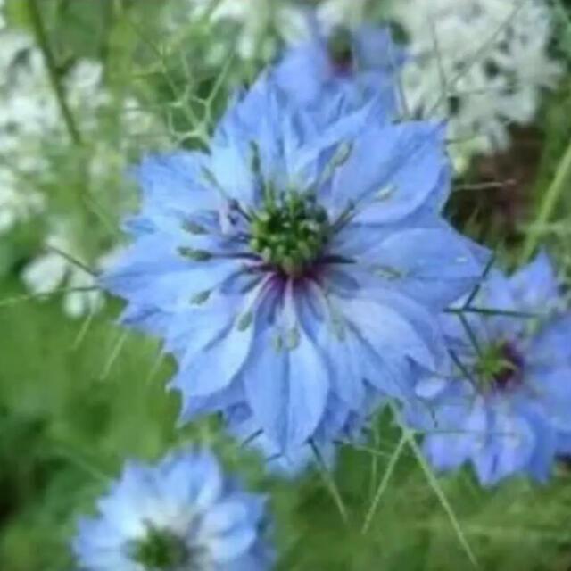 花の種 ニゲラ ハンドメイドのフラワー/ガーデン(その他)の商品写真