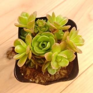 多肉植物   オロスタキス   玄海岩蓮華   抜き苗(その他)