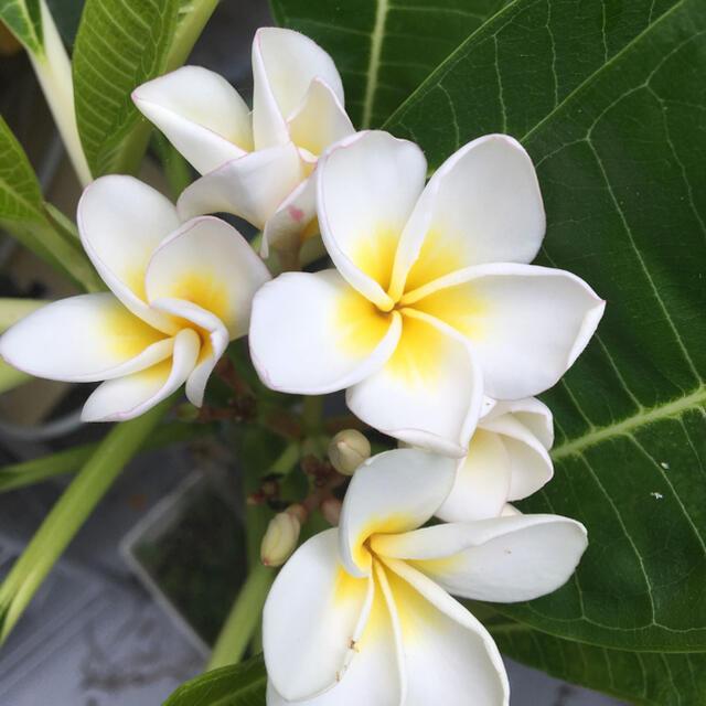 プルメリア約33㎝白苗木ホワイト花 ハンドメイドのフラワー/ガーデン(その他)の商品写真