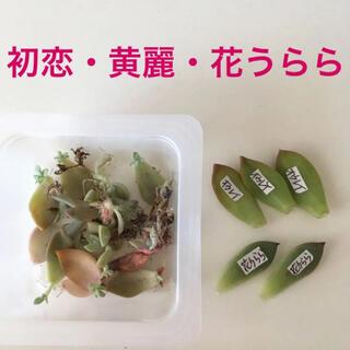 【葉挿し・子苗】黄麗・花うらら・パープルキング(初恋)/(多肉植物)(その他)