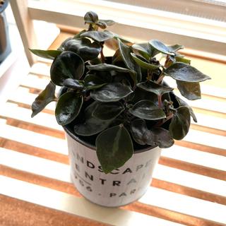 ペペロミア メタリカ 観葉植物 ミニ 珍しい品種 艶のある葉(その他)