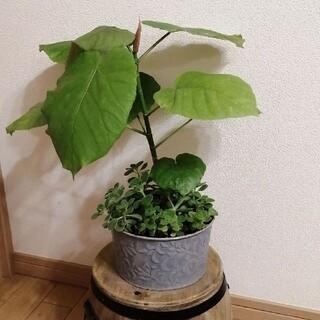 フィカス ウンベラータとアロマティカス、多肉の寄せ植え 観葉植物 ラクマパック(その他)
