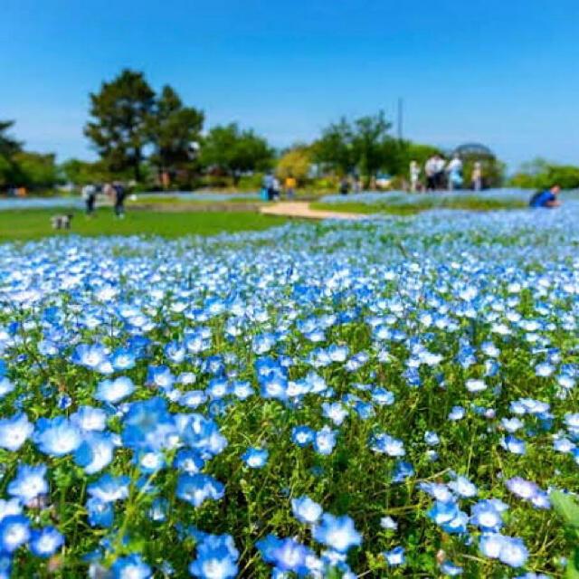 【説明書付き!】ネモフィラ インシグニスブルー 350粒以上! ハンドメイドのフラワー/ガーデン(その他)の商品写真