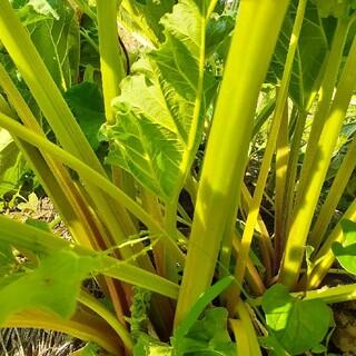 無農薬 ルバーブ 700g  千葉県産(野菜)