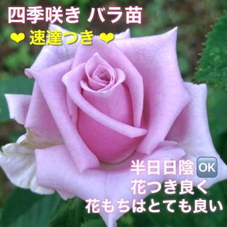 ルディこ様専用 速達 希少品種 四季咲きバラ苗   中輪〜大輪(その他)