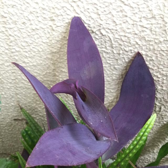 ムラサキゴテン(紫御殿)     パープルハート  カット苗4本 ハンドメイドのフラワー/ガーデン(プランター)の商品写真