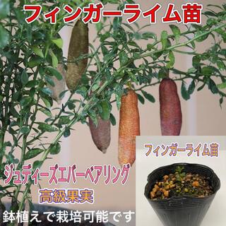 フィンガーライム 1鉢(プランター)