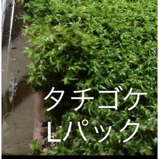 タチゴケ L  苔(その他)