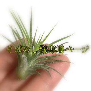 エアープランツ イオナンタ グレース 子株A(その他)