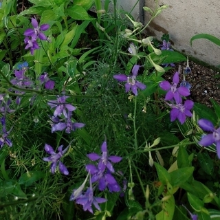 千鳥草の種(紫) 100粒(プランター)