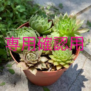 センペルビウム4種6苗 多肉 サボテン 多肉植物(その他)