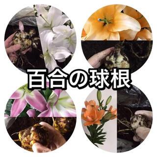 百合の球根、4種からお好みで2000円分(送料込)(その他)