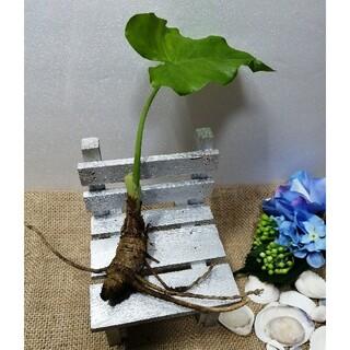 クワズイモ 抜き苗 根付 20cm程度(その他)