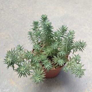 多肉植物   セダム   シルバーペット   抜き苗(その他)