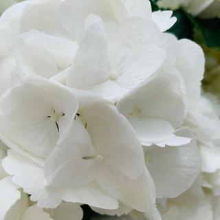 ハイドランジア シュガーホワイト 挿木 苗 C(プランター)