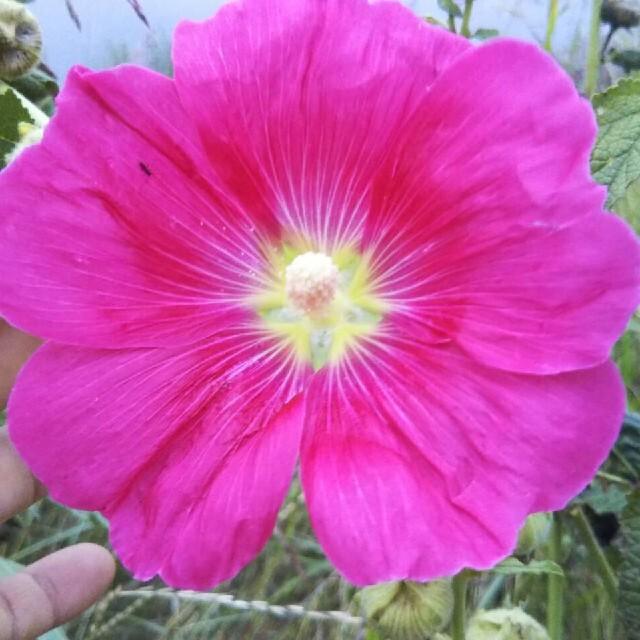 朝顔 あさがお 変わり咲き スプリットペタル ご希望者様のみおまけ付 ハンドメイドのフラワー/ガーデン(プランター)の商品写真